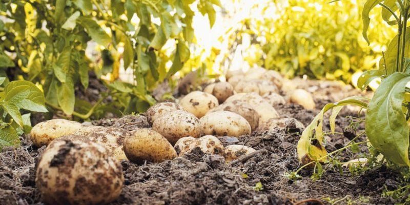 12 luchshih udobrenij dlya kartofelya 601f2b3bc1b72 800x400 - 12 лучших удобрений для картофеля