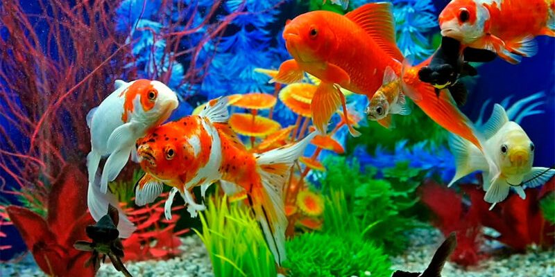 20 luchshih rybok dlya akvariuma 6022103036964 800x400 - 20 лучших рыбок для аквариума
