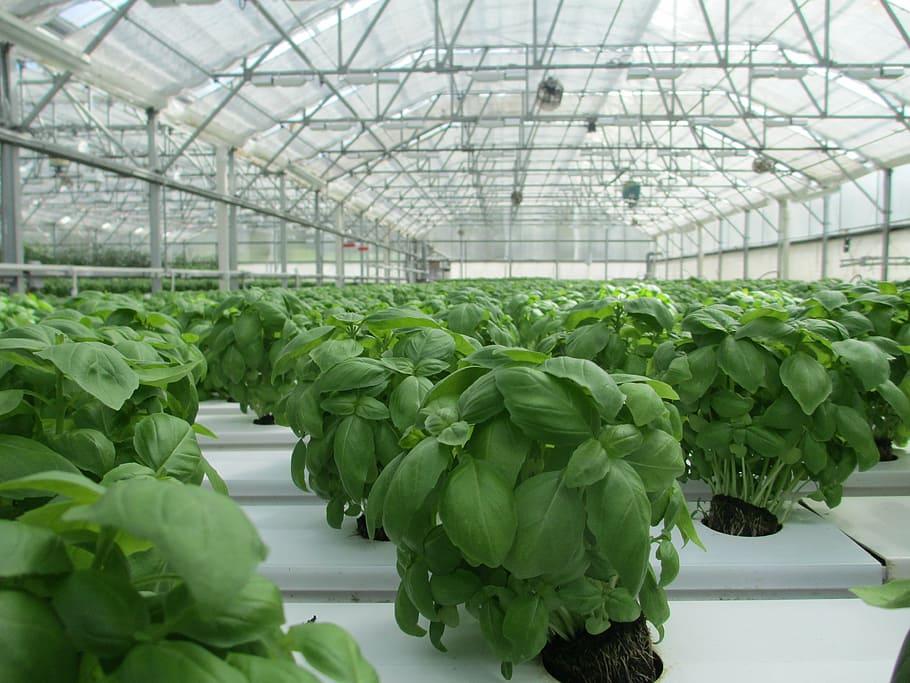 Basil Greenhouse Plant Food