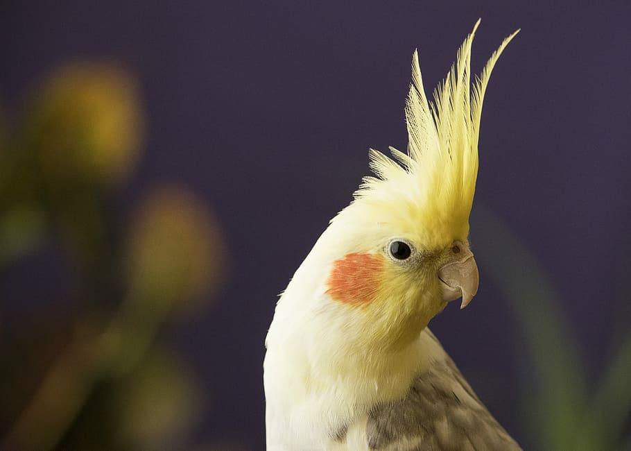 Bird Parrot Cockatiel Yellow