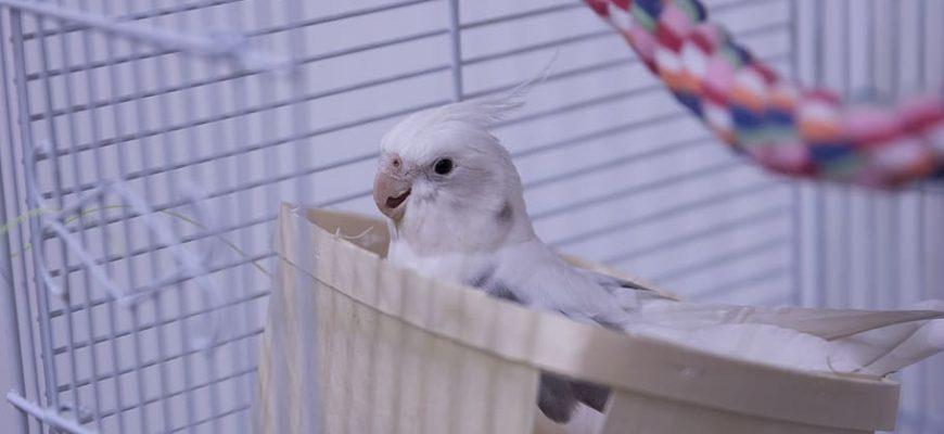 cockatiel birds parrot animal 870x400 - Топ лучших клеток для попугаев на 2021 год