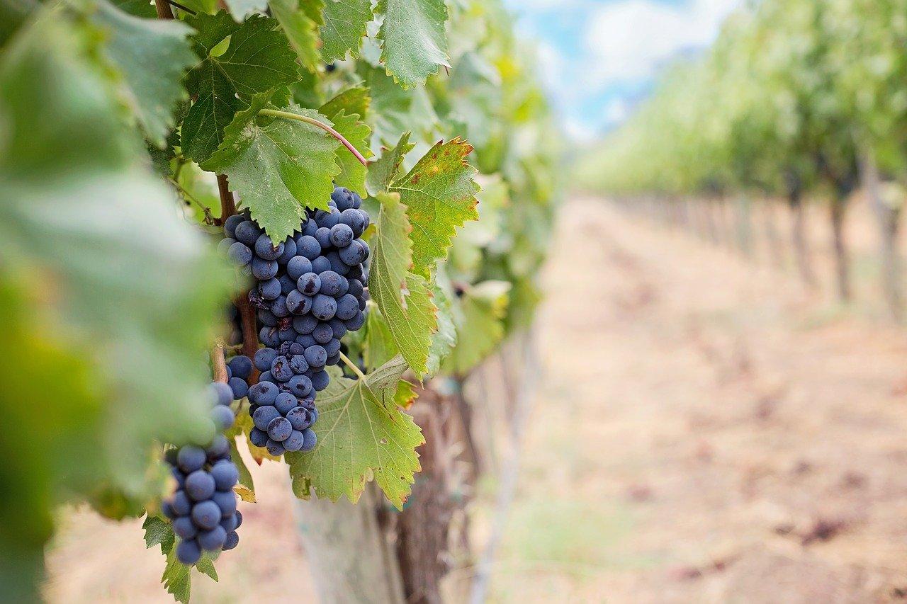 Grapes 1952035 1280