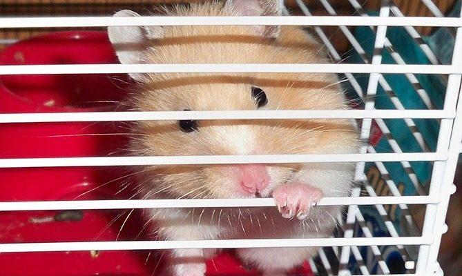 hamster 13755 960 720 669x400 - Топ лучшие клетки для грызунов: как выбрать лучший домик