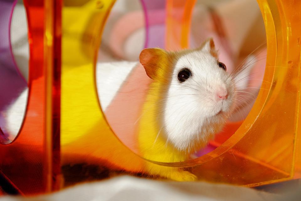 Hamster 1576771 960 720