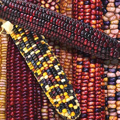 Kukuruza Indejskij Ornament