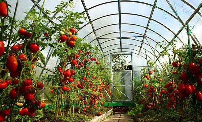 luchshie sorta tomatov dlya teplicz 5ec3d55e41a4d 660x400 - Лучшие сорта томатов для теплиц