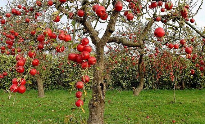 luchshie sorta yablon 5ec3d52a7672e 660x400 - Лучшие сорта яблонь