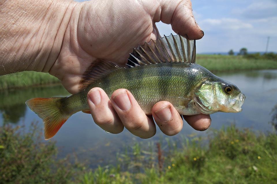 River Fish 1164953 960 720