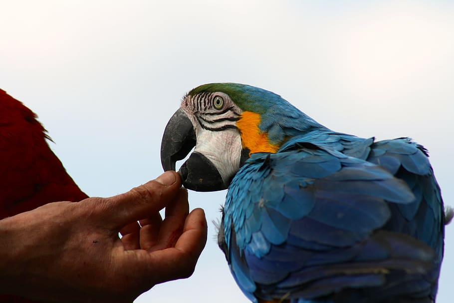 Tame Blue Macaw Blue Parrot Feeding Hand Fed Parrot