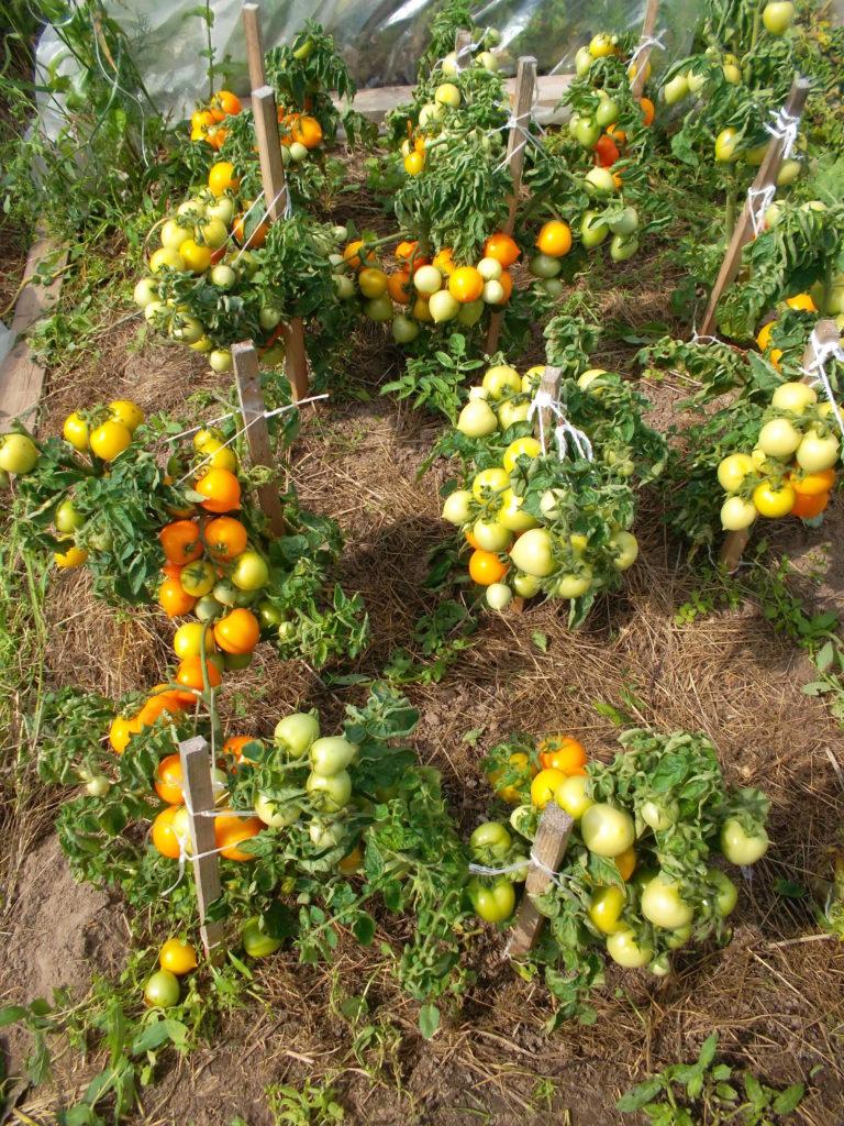 Tomat Mongolskiy Karlik 21 25144259 768x1024