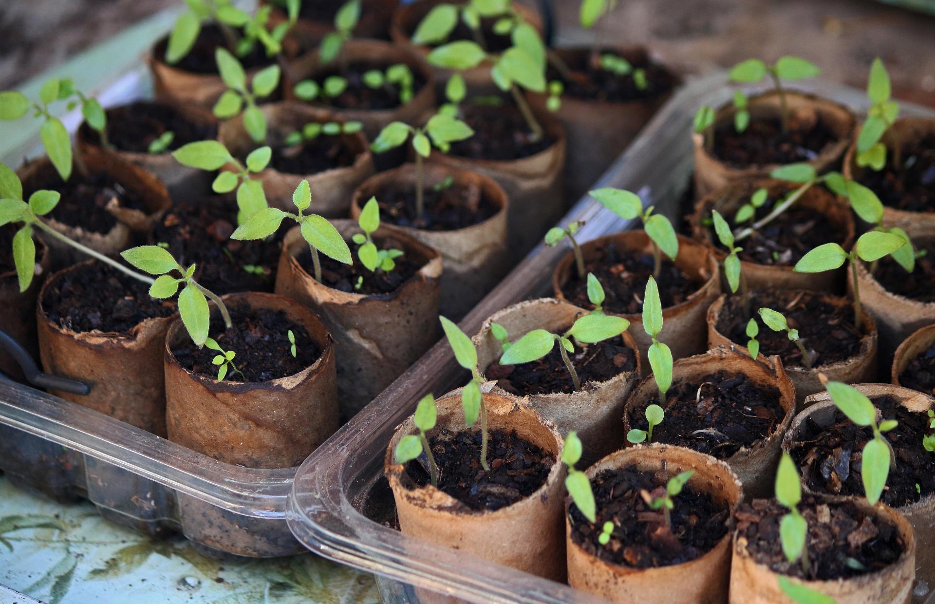 Tree Tomato Saplings In A Tray