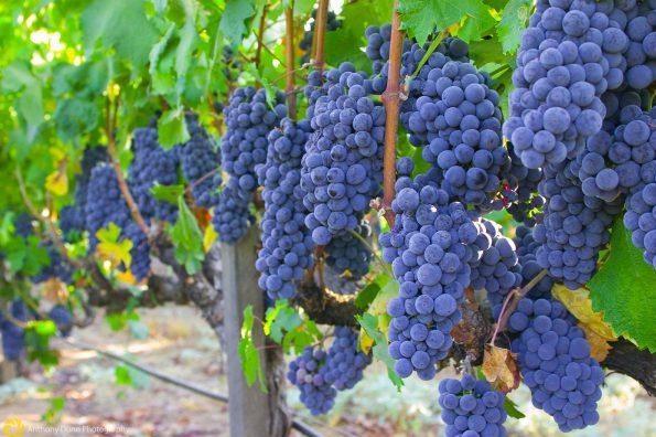 Vinograd Grenash 1 E1591217438581
