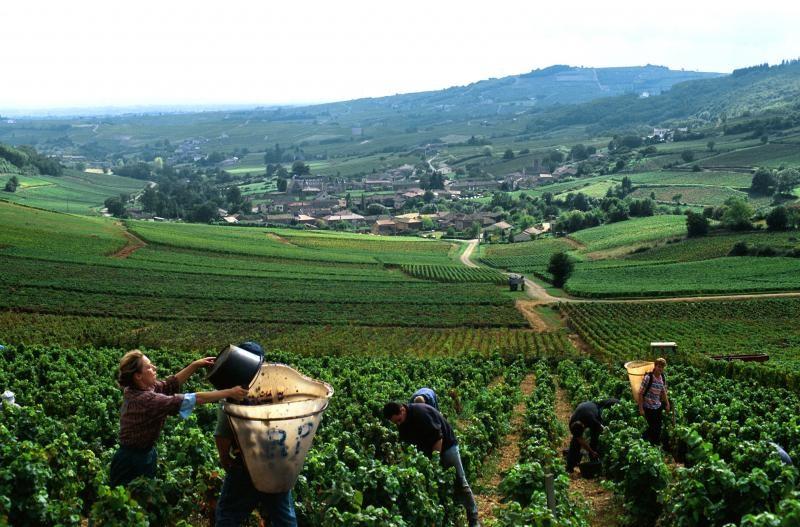 Vinogradniki Burgundii