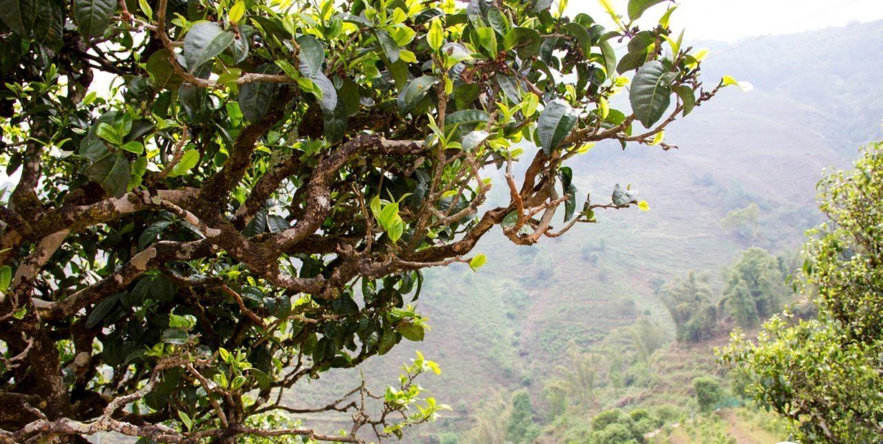 Vysokogornye Plantaczii E1589915466275